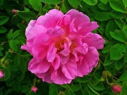 Le erbe di Janas rosa damascena 100gr