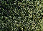 La Saponaria clorofilla micronizzata colorante verde
