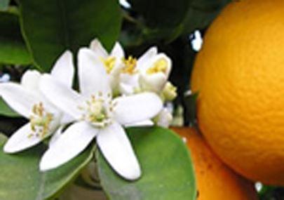 La Saponaria idrolato fiori d'arancio