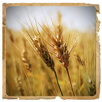 Le erbe di Janas Olio di germe di grano spremuto a freddo 50ml
